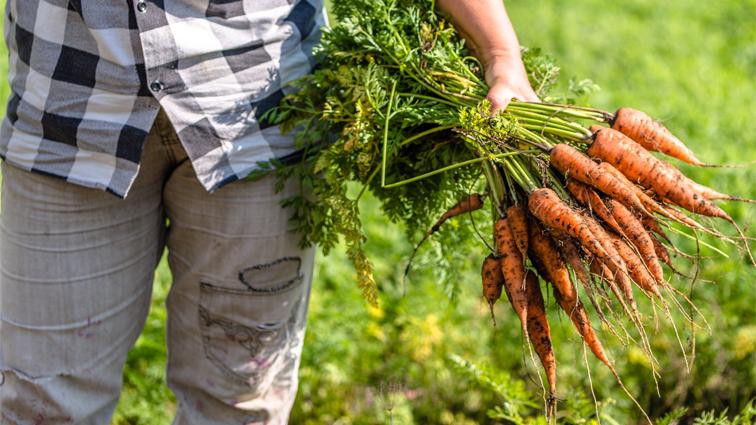 443b9a7a365 Grossiste et distributeur de carottes bio