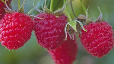img_suggestions_framboise